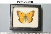 Orange Sulphur Butterfly